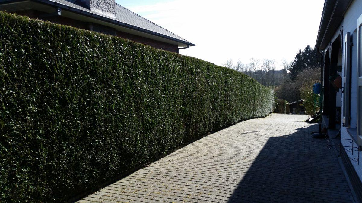 Taille d'une haie par Greenrod, votre partenaire en entretien de jardins, élagage, construction d'abris de jardin etc.